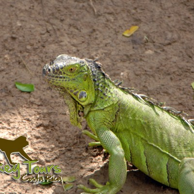 Green iguana in its natural habitat