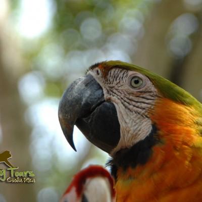 Macaw Costa Rica
