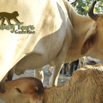 Get to meet the cow and its baby live with Monkey Tours