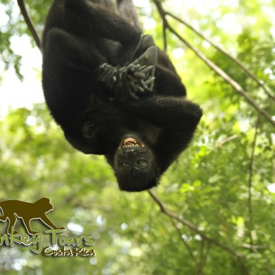 spectacular gorilla in Costa Rica