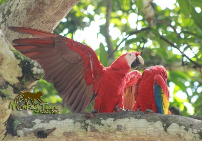 Bird species the red macaw
