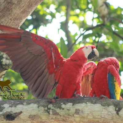 Bird species the red macaw