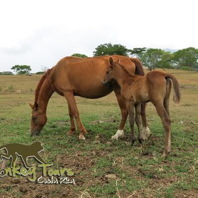 horses in boriquen