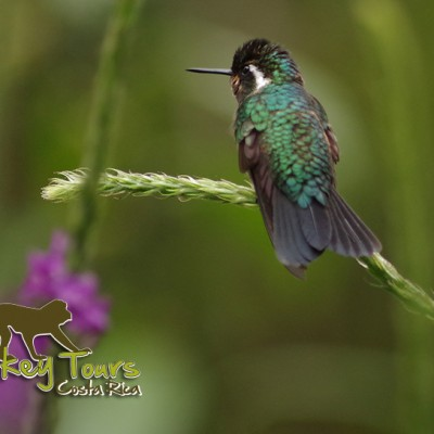 Bird of Nicaragua