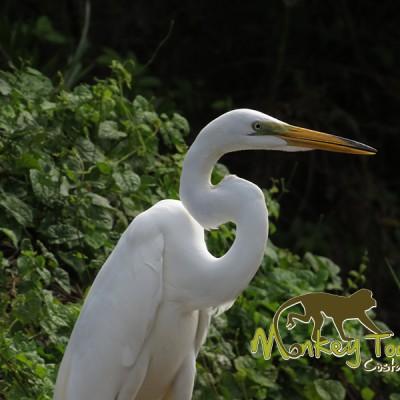 Beautiful white garza bird in the Palo Verde mangrove area