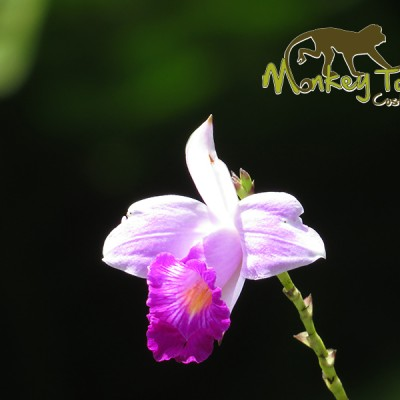 Beautiful pink and white orchids in Costa Rica