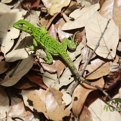 Costa Rica lizard