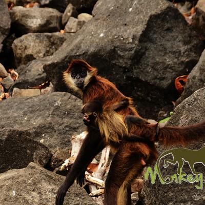 spider monkey Granada Nicaragua