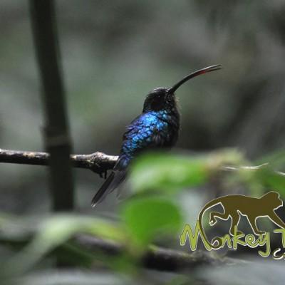 Blue Bird Colibri Costa Rica Tour 116