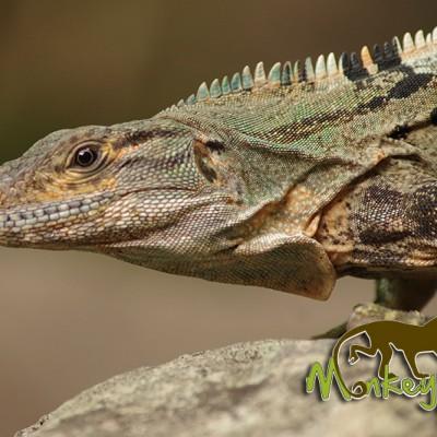 Iguana Costa Rica Tour 121