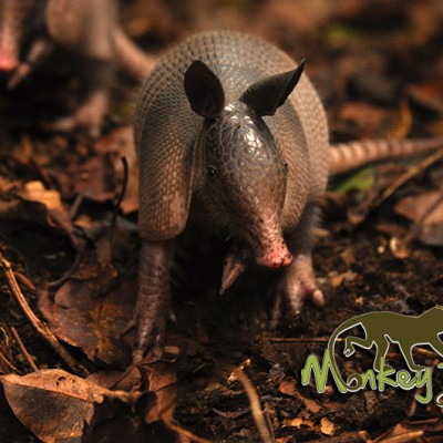Armadillo wildlife Costa Rica Guided Tour 123