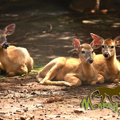 Deer Costa Rica Guided Trip 133