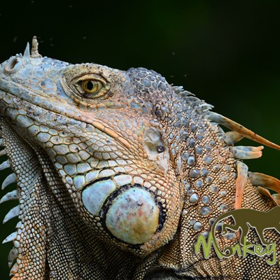 Beautiful Iguana Costa Rica Guided Expedition Tour 127
