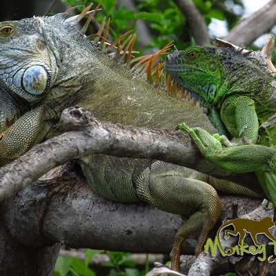 Iguanas in Palo Verde Costa Rica Getaway Adventure 129