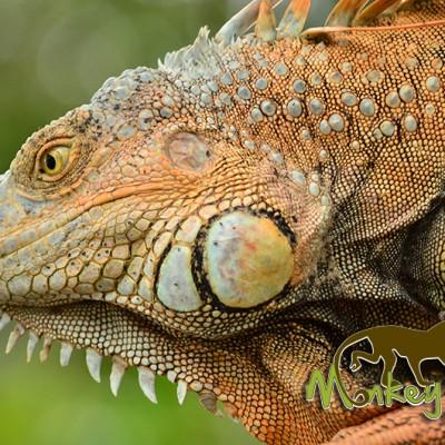 Iguana Costa Rica Guided Getaway 133