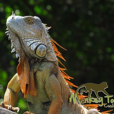 Iguana Palo Verde Costa Rica Adventure Trip 135