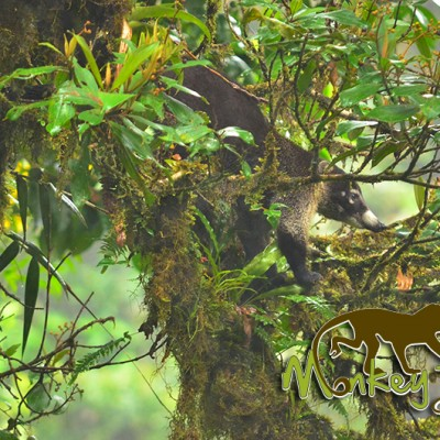 Coati Animal in Tree Costa Rica Getaway Travel 134